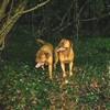 photo chien et chiot dogue de bordeaux : ouviventnosdogues07