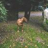photo chien et chiot dogue de bordeaux : ouviventnosdogues09