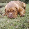photo chien et chiot dogue de bordeaux : photo200502