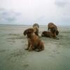 photo chien et chiot dogue de bordeaux : plage4chiots