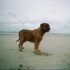 photo chien et chiot dogue de bordeaux : plagefier2