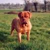 photo chien et chiot dogue de bordeaux : razzia