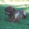photo chien et chiot dogue de bordeaux : soulisept2003
