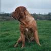 photo chien et chiot dogue de bordeaux : soulreaverdec03