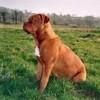 photo chien et chiot dogue de bordeaux : titane