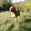 photo chien et chiot dogue de bordeaux : titanesept2
