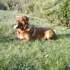 photo chien et chiot dogue de bordeaux : titanesept3
