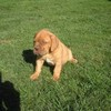 photo chien et chiot dogue de bordeaux : ultime