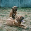 photo chien et chiot dogue de bordeaux : ultimeetulysse31sept2003