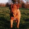photo chien et chiot dogue de bordeaux : ulysse31debout