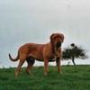 photo chien et chiot dogue de bordeaux : ulysse31dec03