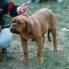photo chien et chiot dogue de bordeaux : ulysse31plerguer