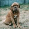 photo chien et chiot dogue de bordeaux : ulysseseptembre2003