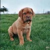 photo chien et chiot dogue de bordeaux : urkadec03