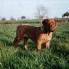 photo chien et chiot dogue de bordeaux : urkafevrier