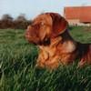 photo chien et chiot dogue de bordeaux : urkafevrier2